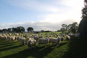 На Ставрополье овцы будут будут приносить приплод 2 раза в 3 года
