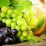 В Севастополе появилась первая учебно-научная  площадка элитного виноградарства