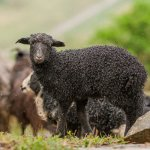 Производство баранины на Северном Кавказе требует использования новых технологий