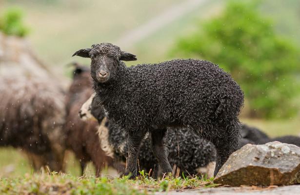 Производство баранины на экспорт в северокавказских регионах требует нового подхода