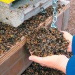Причиной гибели пчел в Тульской области стало использование запрещенных агрохимикатов