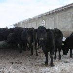 Молоко в Пензенской области получают от коров, имеющих племенное свидетельство