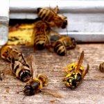 Закон об органической продукции исключит гибель пчел от гербицидов и пестицидов