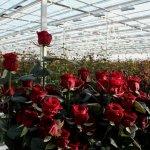 Крупнейшее цветочное предприятие Удмуртии расширяет производство роз