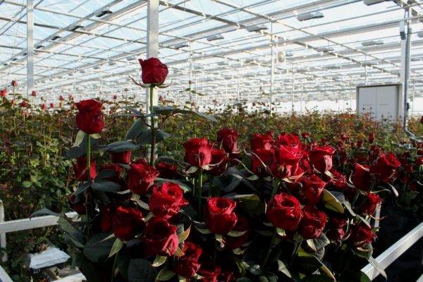 В Удмуртии увеличивают производство тепличных цветов