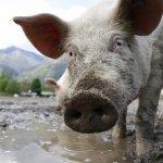 Мираторгу не разрешили строительство свинокомплекса в Курской области