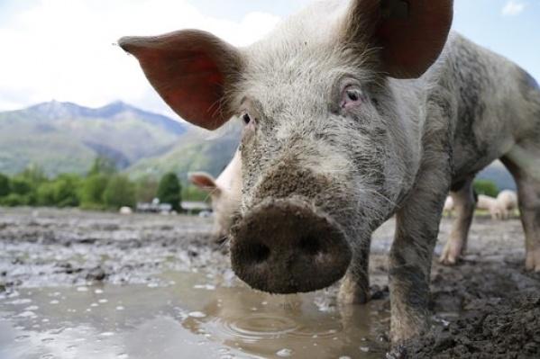 В Курской области массовые протесты против строительства свинокомплексов Мираторга