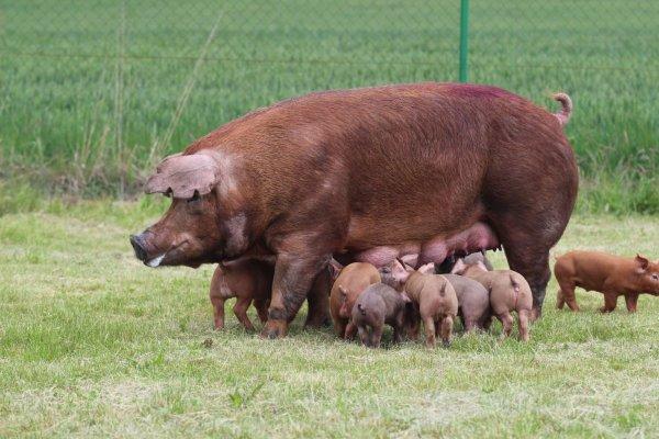 В Брянской области строится свинокомплекс на 3000 свиноматок