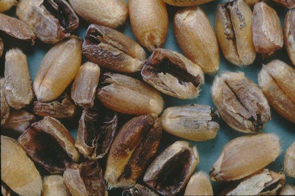 """В Вологолской области почти треть зерна поражена """"черным зародышем"""""""