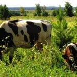 Фермеры и частники Кемеровской области смогут получать компенсацию при замене лейкозного скота