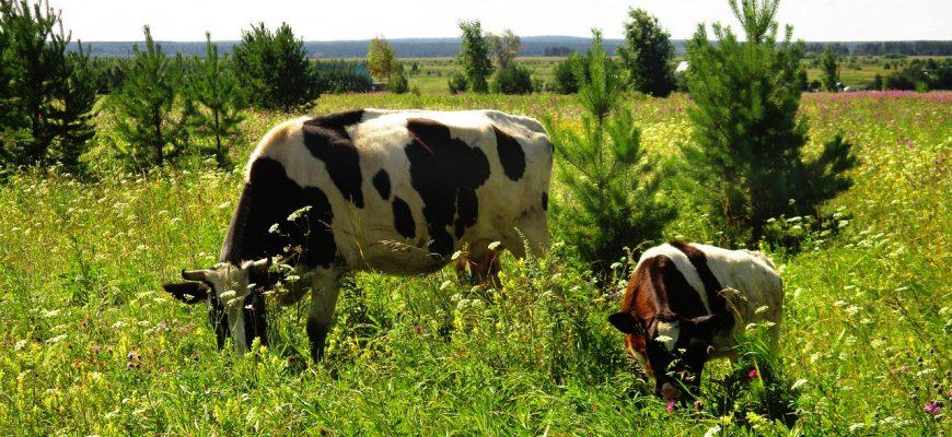 В Кемеровской области компенсировать затраты при замене лейкозного скота будут и частникам.