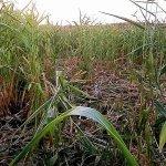 В Татарстане из-за диких кабанов начали спешно убирать кукурузу на зерно