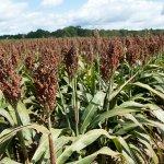 Знаменский район Тамбовской области один их 4 в России, где выращивается сахарное сорго