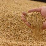 В Ульяновской области аспирант УГАУ изобрел зерносушилку нового типа