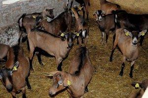 В Московской области появится новый животноводческий комплекс с производством козьего и овечьего сыра
