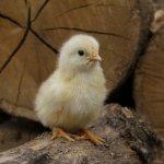 Уральские ученые создали биопрепарат для защиты сельскохозяйственных животных и птицы