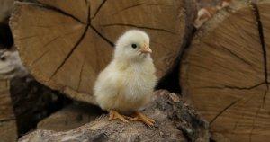 Российские ученые создали новый биопрепарат-сорбент для сельхозживотных и птицы
