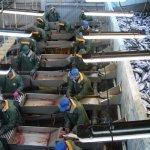 На Камчатке открылся современный завод по переработке рыбы