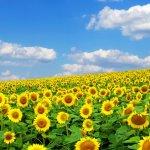 В Оренбургской области аграриев наказывают за лишние посевы подсолнечника
