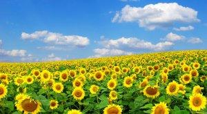 Власти Оренбургской области ограничивают посевы подсолнечника