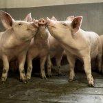 В Тульской области компания «АгроЭко» запустила пятую по счету свиноводческую ферму