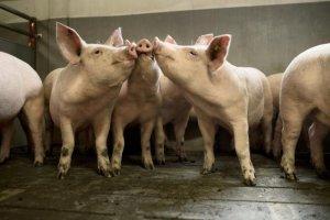 В Тульской области компания АгроЭко открыла пятую по счету свиноводческую ферму