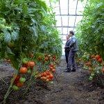 В Госдуме рассмотрят законопроект, направленный на учет и контроль всех предпринимателей, выращивающих тепличные овощи