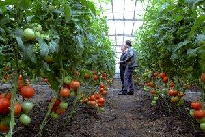 ПРоизводитеелй овощей закрытого грунта обяжут сообщать о начале деятельности