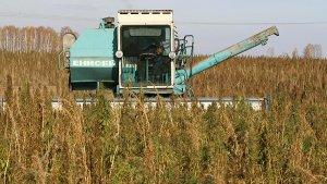 В Солнечногорске создается растениеводческий комплекс по производству продуктов из технической конопли