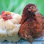 В Новгородской области открылось предприятие по производству удобрений из птичьего помета
