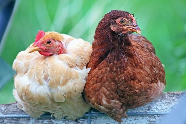 В Новгородской области запустили производство биоудобрений из куриного помета