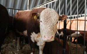 На выставке в Улан-Удэ будет представлен племенной скот разных пород и видов.