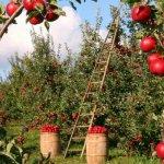 Компания «Городнянские сады» закладывает в Смоленской области интенсивный яблоневый сад