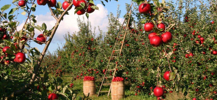 """Компания """"Городнянские сады""""закладывает интенсивный яблоневый сад"""