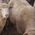 Компания «Дамате» начинает работу по выведению овец мясных  пород от лучших европейских производителей
