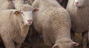 Первую партию лучших племенных пород овец компания Дамате завезла на Ставрополье
