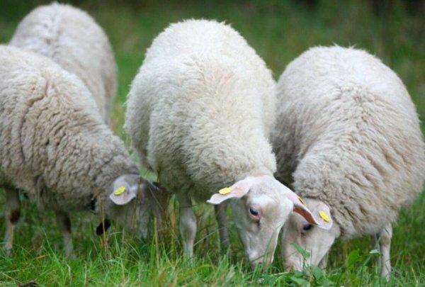 """В Подмосковье компания """"РотаАгро"""" создает овцеводческую ферму"""