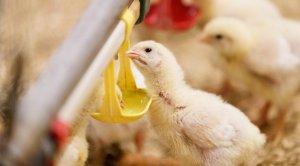 """Птицефабрика """"Чайковская"""" после завершения модернизации увеличит объем производства куриных продуктов на 7%"""