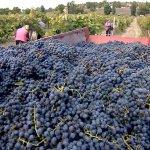 В Крыму собрали урожай винограда больше запланированного