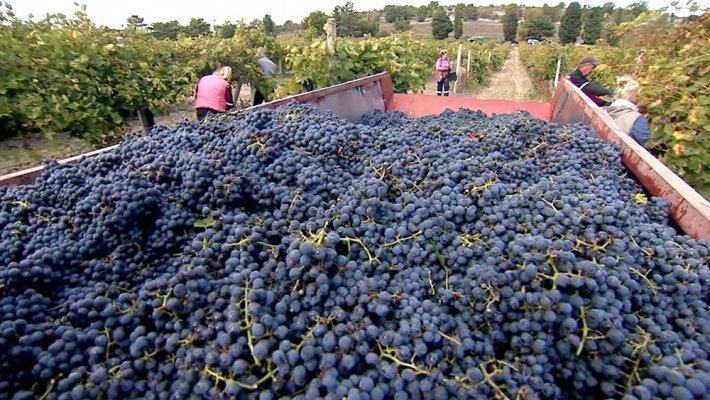 В Крыму завершилась уборка винограда