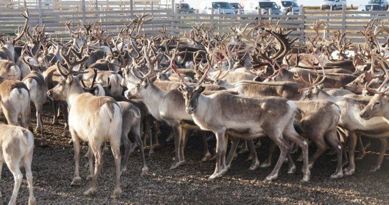 В Красноярском крае могут появиться передвижные мясокомбинаты финского производства для переработки оленины