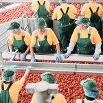 В Астраханской области стали больше производить томатной пасты