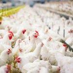 В Республике Удмуртия появится новый птицеводческий комплекс