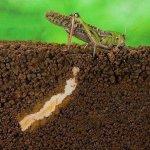 В Ростовской области выявляют зимующую саранчу