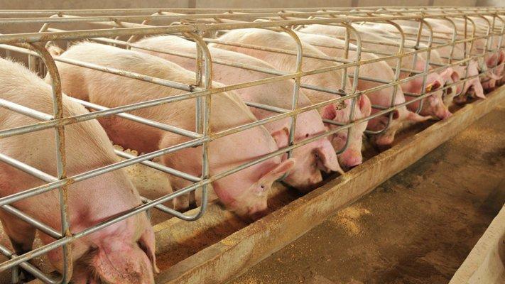 Комплекс Тарбаево в Ивановской области начал заселяться свиньями