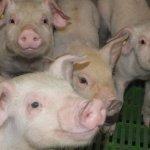 Компания «Дымов» готовится к вводу в эксплуатацию нового свиноводческого комплекса в Ивановской области
