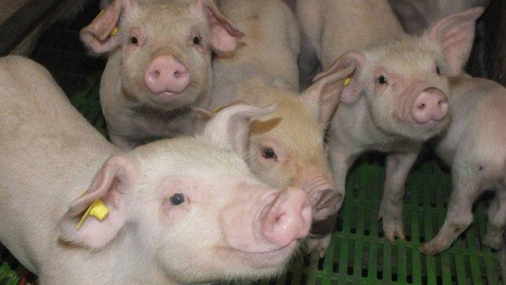 В Ивановской области перед Новым годом запустят свиноводческую ферму