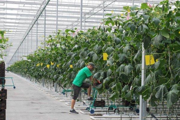 В Челябинской области запустили новое производство тепличных овощей
