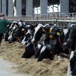 В Воронежской области введены в эксплуатацию два новых животноводческих комплекса «ЭкониваАгро»