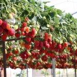 В подмосковной Кашире строится тепличный комплекс по выращиванию клубники